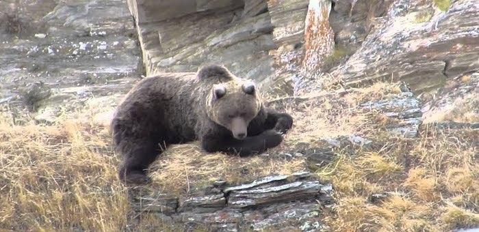 Охота сайлюгемского медведя (видео)