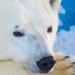 В Японии медведица Шилка стала мамой
