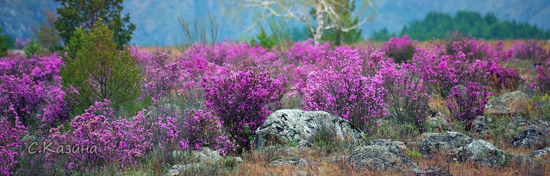 маральник, Алтай, цветы