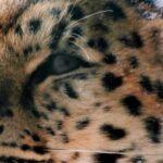 Дальневосточный леопард приедет в Новосибирский зоопарк из Москвы