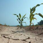 В Новосибирской области посевы могут погибнуть без дождя