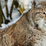 Жителя Новосибирской области обвиняют в незаконной охоте на рысь
