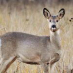 Две косули погибли от рук браконьера в Новосибирской области