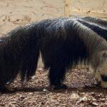 В зоопарке Новосибирска поселилась пара муравьедов