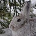 заяц на снегу под елкой