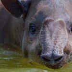 В новосибирском зоопарке отмечают день рождение тапира Дилана
