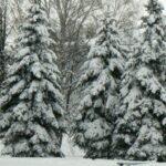 Хвойные деревья Новосибирска обработают антивандальным раствором