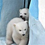 Медвежат Норди и Шайну отделяют от матери