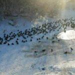 МЧС второй раз за январь спасает уток в Кемерове
