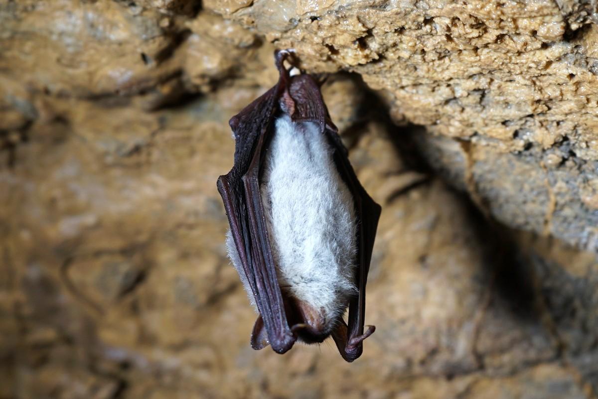 Спящая остроухая ночница, пещера Ящур