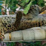 Мраморная кошка в зоопарке Новосибирска