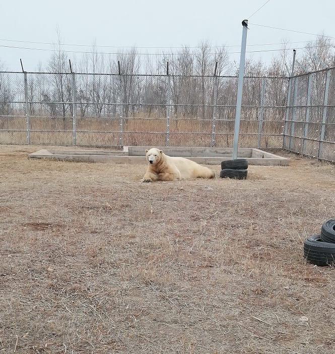 Ростик, белый медведь