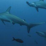 Учёные Томска установили массовую миграцию акул и скатов к Сахалину из-за прогрева морей