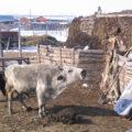 Морозостойкая корова