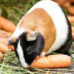 грызун-морковь