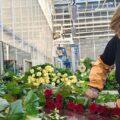 розы, выращенные под Новосибирском 8 марта цветы