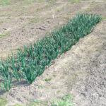 Несеяный урожай и первая зелень