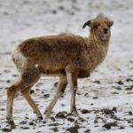 Самку аргали с пробитым черепом не удалось спасти ветеринарам Новосибирского зоопарка