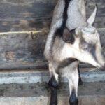Ветеринар рассказал тайну новосибирской чупакабары