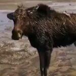 Под Новосибирском спасли лосёнка с дрейфующей льдины