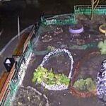 В Новосибирске под покровом ночи украли тую