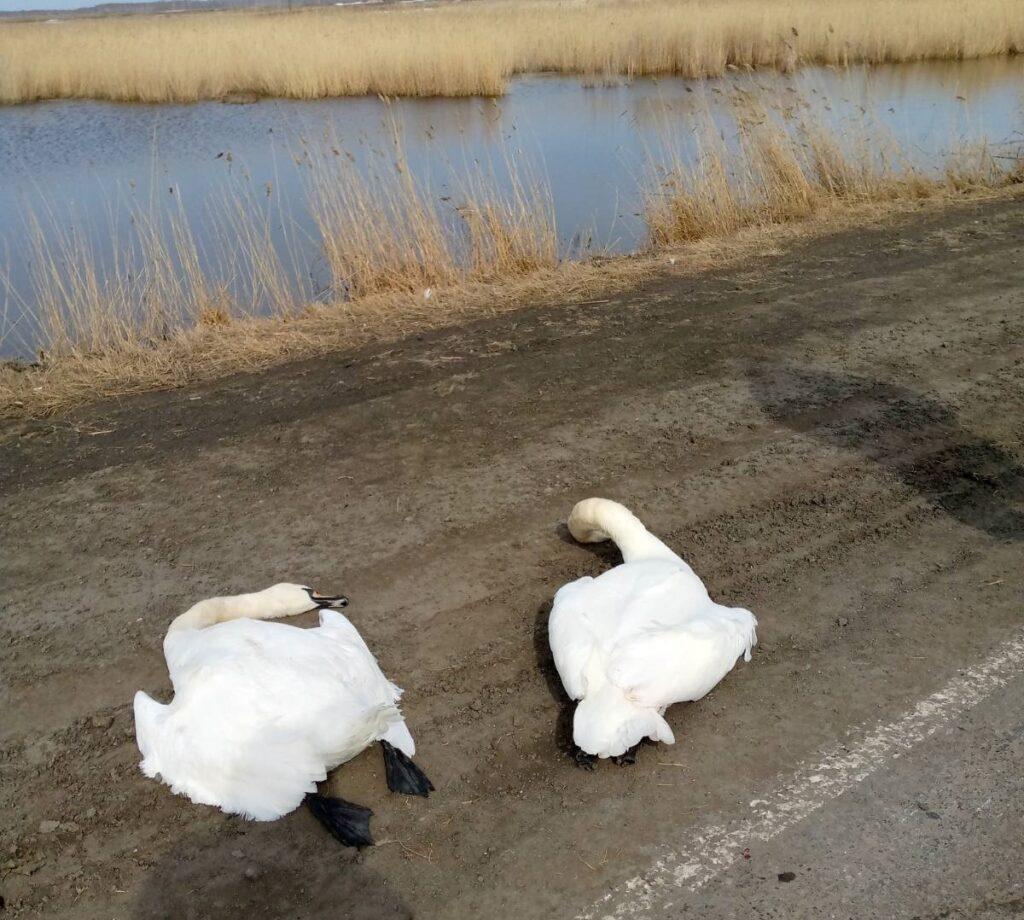 лебеди, смерть