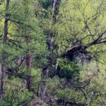 медведь, дерево, природа, алтай