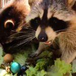 Еноты Новосибирского зоопарка отведали пасхальных яиц