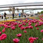 Фестиваль тюльпанов в Новосибирске