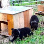 Медвежата – сироты сделали первые шаги к свободной жизни (видео)