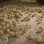 120 тысяч цыплят погибли при пожаре в Томской области