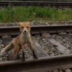 История оголодавшей лисы взорвала соцсети. В Кузбассе дикие хищники всё чаще выходят к людям. Можно ли заразиться бешенством, погладив зверушку?