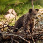 В Кемеровский области медведь решил отведать мёду и разломал всю пасеку. Жители Тисуля подсчитывают убытки