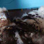 Новосибирские орнитологи восстанавливают популяцию сокола-балобана