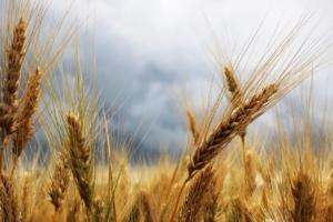 пшеница, гроза, поле