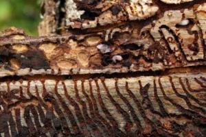 жуки, короеды