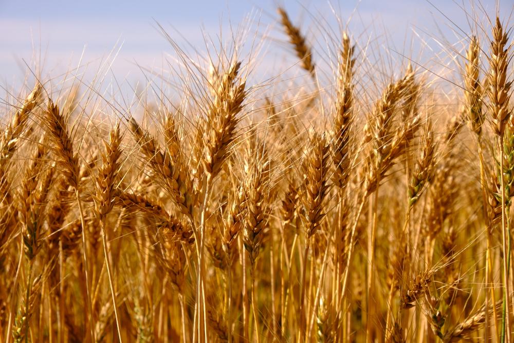 Золотые колосья элитной пшеницы